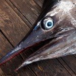 Close up photo of a white marlin's head with it's head open for Open Day
