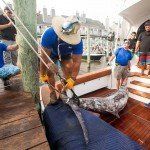 Pulley system pulling a huge marlin off of a boat during White Marlin open 2015