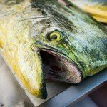 Close up photo of a mahi mahi head with its mouth open in Ocean City MD