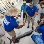 Staff members of the white marlin open 2015 measuring a white marlin