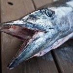 Close up of the head and teeth of a wahoo fish on a dock in OC MD