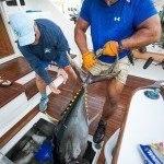 Staff member for white marlin open pulling a tuna out of an ice box on a boat