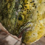Close up of a mahi mahi with ice still on it from the ice box during white marlin open