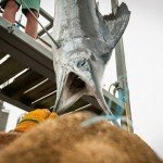Staff member of white marlin open 2015 looking into the mouth of a white marlin