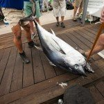 Staff members for white marlin open tying up a tuna so it hangs