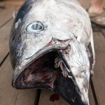 Close up on a wahoo's mouth and small teeth on a dock in Ocean City MD